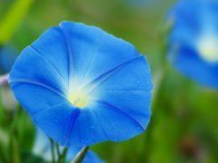 アサガオの種〜水色の花びら〜15粒