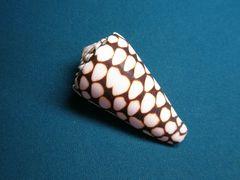 貝の標本(現生)ナンヨウクロミナシの貝殻 54mm