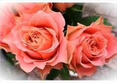 バラ長め挿し木苗★ランハーツ+★切花品種♪