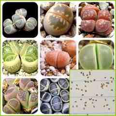 リトープス オリーブ玉 種子20粒 メセン コノフィツム 多肉植物