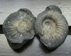 ☆即決☆アンモナイトの化石 393g