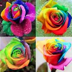 ◆レインボー虹ローズ・バラ花の種/家栽培植物/増量100粒/海外