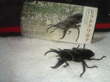 日本昆虫図鑑3   ヒラタクワガタ